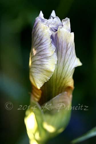 Bearded Iris 'Expose'