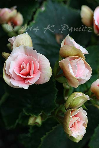 Amstel Begonia 'Red Rhine Round'