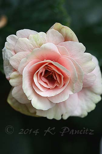 Amstel Begonia 'Red Rhine Round5'