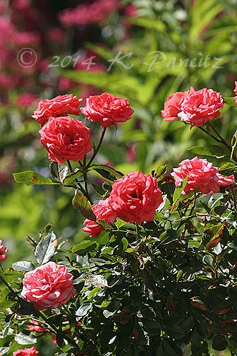 2014 'Salmon Sunblaze' rose