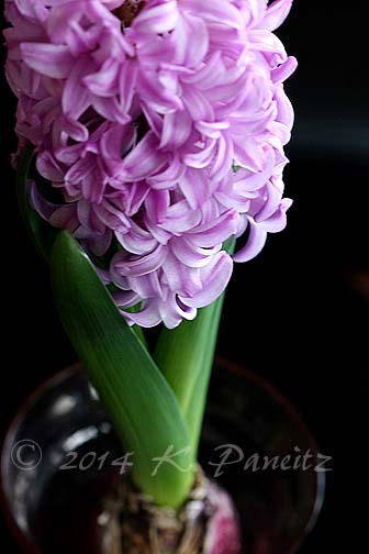 Hyacinth 'Splendid Cornelia2'
