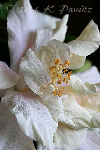 Hibiscus 'Powder Puff1'