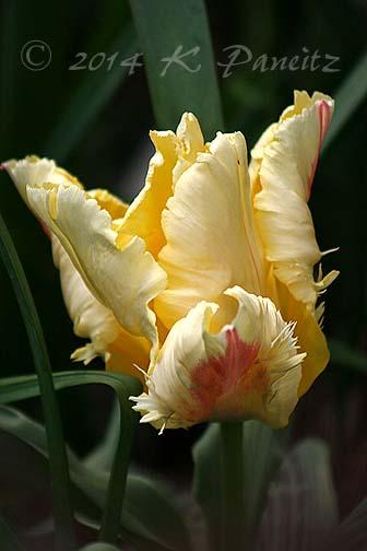 Parrot Tulip 'Zampa1'