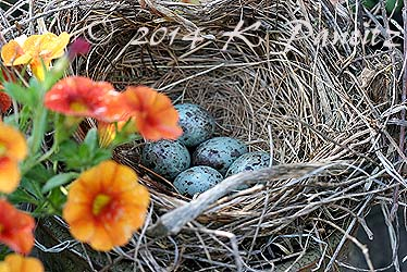 Grackle Eggs