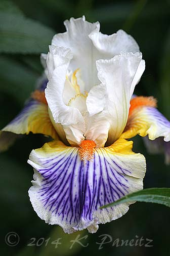 Bearded Iris 'Expose1'