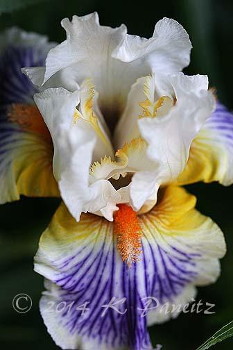 Bearded Iris 'Expose2'