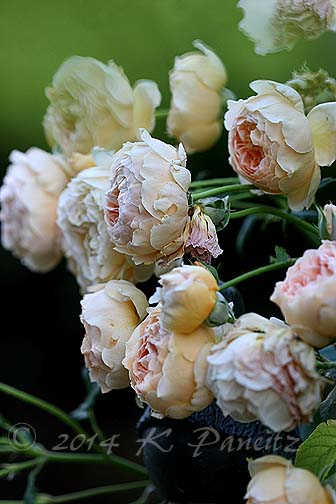 DA 'Crown Princess Margareta7'