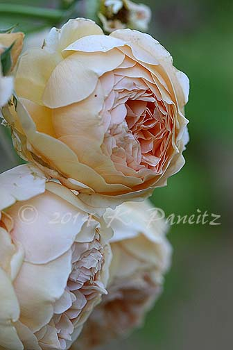 DA 'Crown Princess Margareta10'