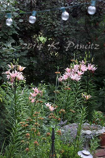 Asiatic Lilies 'Elodie6'