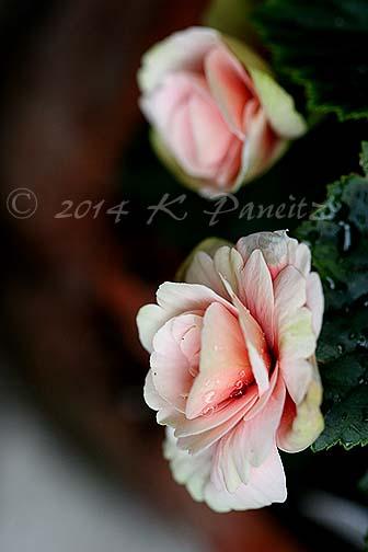 Amstel Begonia 'Red Rhine Round2'