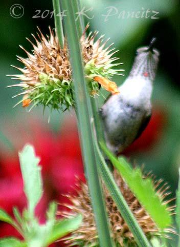 Rufous hummingbird2