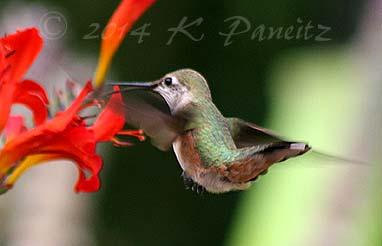 Rufous hummingbird14