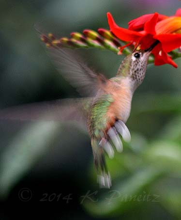 Rufous hummingbird9