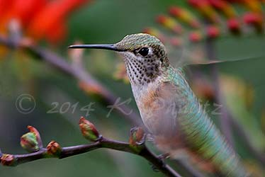 Rufous hummingbird8