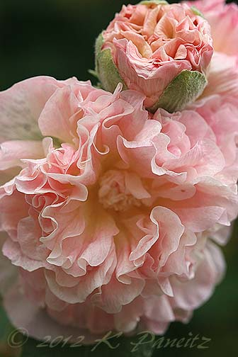 Hollyhock 'PeachesNDreams1'