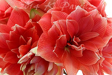 Amaryllis 'Double Dream4'