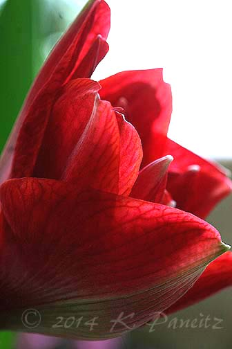 Amaryllis 'Cherry Nymph2'