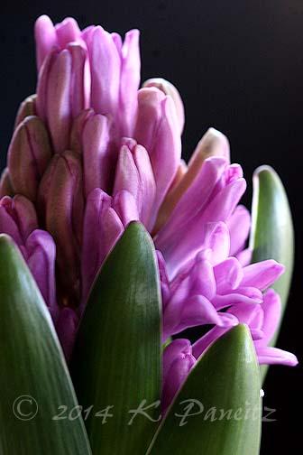 Hyacinth 'Splendid Cornelia3'