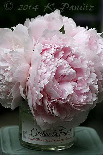 'Sarah Bernhardt' Peonies3