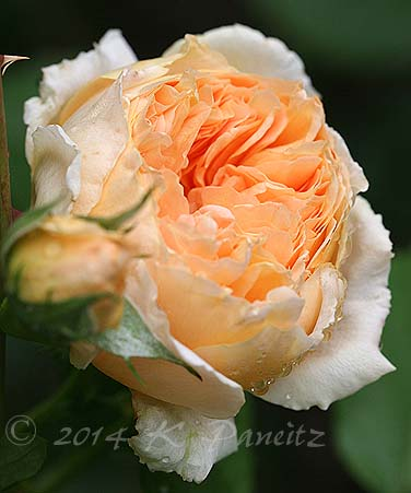 DA 'Crown Princess Margareta2'