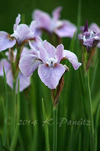 Siberian Iris 'Pink Haze1'
