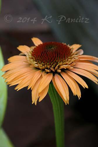 Echinacea 'Supreme Cantaloupe1'