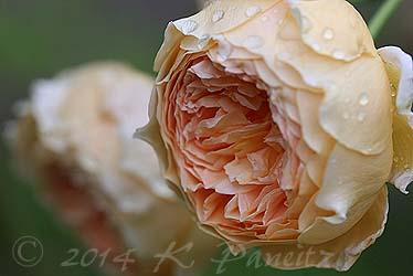 DA 'Crown Princess Margareta4'