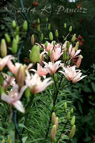 Asiatic Lilies 'Elodie8'