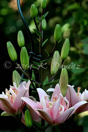 Asiatic Lilies 'Elodie1'