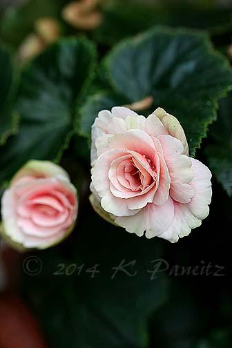 Amstel Begonia 'Red Rhine Round4'