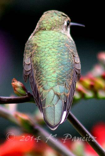 Rufous hummingbird12