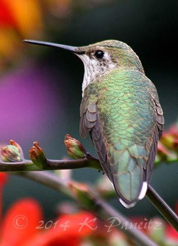 Rufous hummingbird10