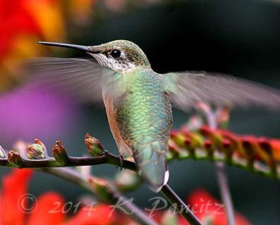 Rufous hummingbird11