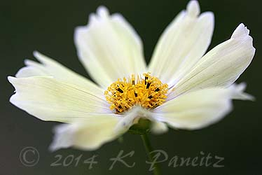 Cosmos bipinnatus 'Yellow Garden5'