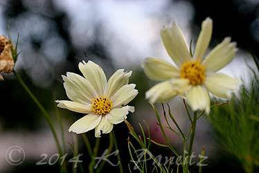 Cosmos bipinnatus 'yellow garden'