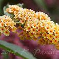 Buddleia 'Honeycomb'
