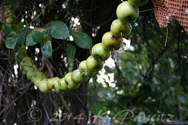 Apple garland6
