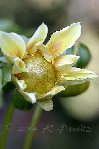 Dahlia 'Apple Blossom'