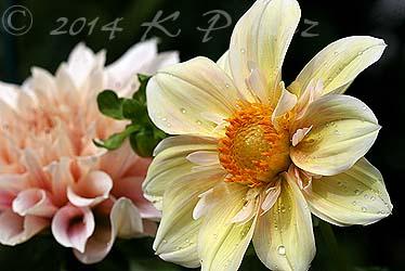 Dahlia 'Apple Blossom6'