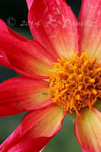 Dahlia 'Honka Surprise2'