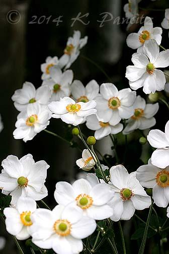 Japanese Anemone4
