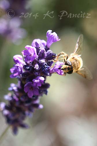 Honeybee on lavendar