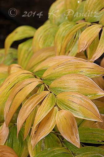 Solomon's Seal fall foliage
