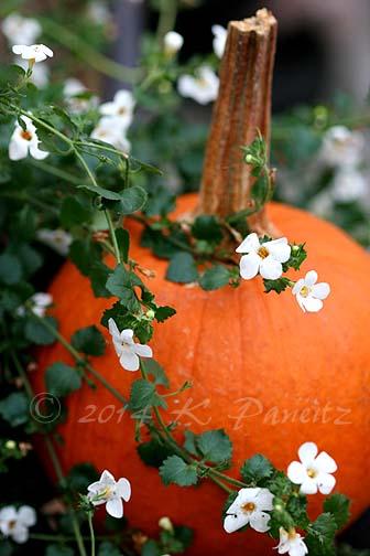Bacopa & Pumpkin1