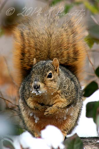 Red Fox Squirrel1
