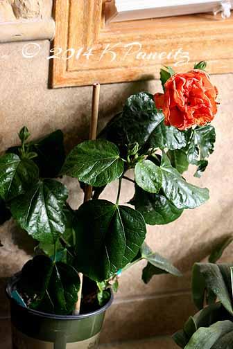 Hibiscus 'Persimmon1'