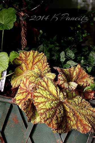 Rex Begonia 'Northern Lights1'