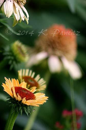 Echinacea 'Supreme Cantaloupe4'