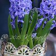 Forced hyacinths1