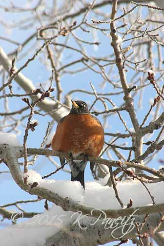 Robin in Feb snow